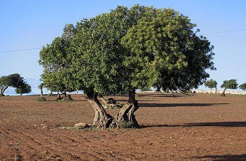 albero di carrube