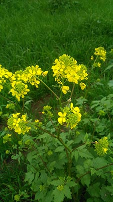 pianta di senape