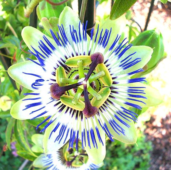 passiflora benefici