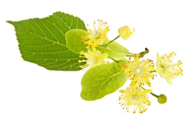 fiore-del-tiglio